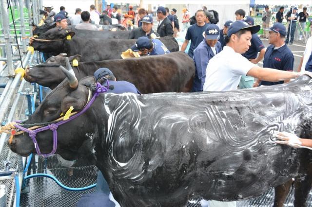 シャンプーで牛の体を洗い、ブラッシングで毛を整える農家の人たち=2017年9月7日