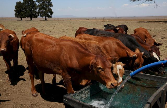 水を飲む牛たち=2015年11月、クワズール・ナタール州、南アフリカ