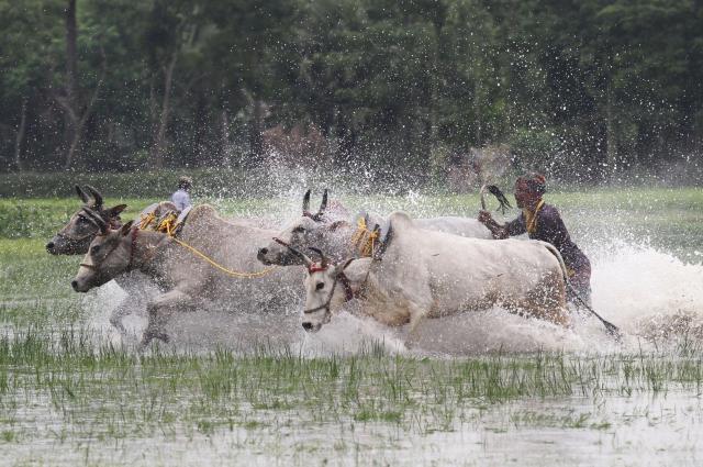 西ベンガル・カニング村で開催されていた牛の競走レース=2012年7月、インド