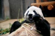 えさを食べる上野動物園の父親パンダ