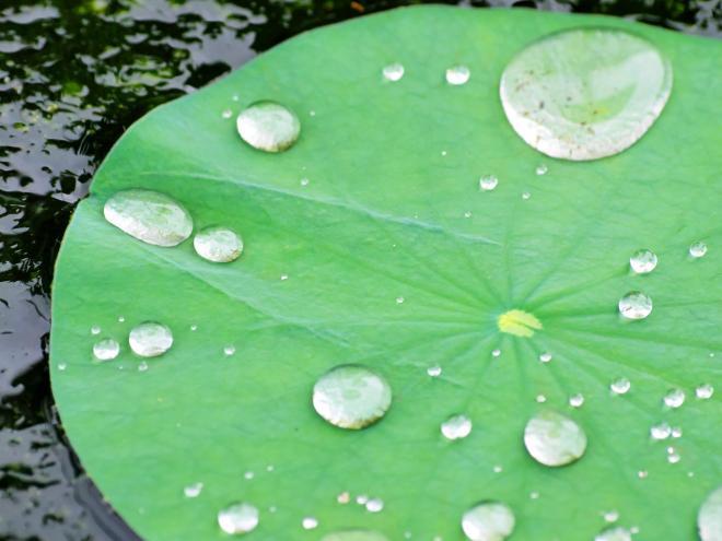 水をはじく蓮の葉