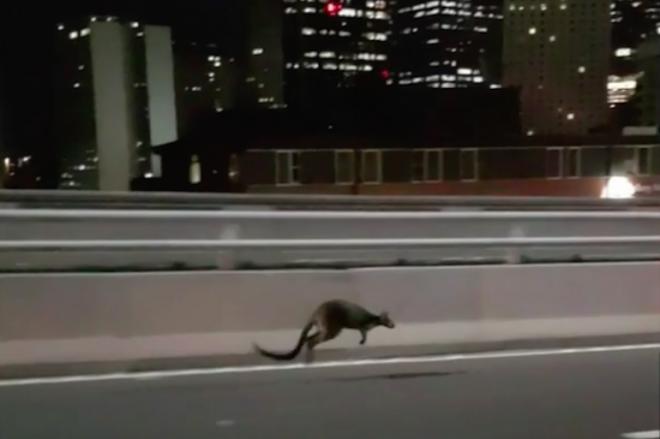 深夜のシドニーを疾走する動物の正体は…=地元警察提供