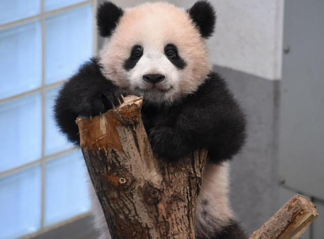 生後7カ月を迎えるシャンシャン。木登りが大好きな遊びの一つ=東京動物園協会提供