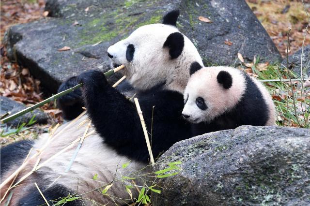 生後7カ月を迎えるシャンシャン(右)と母親のシンシン=東京動物園協会提供