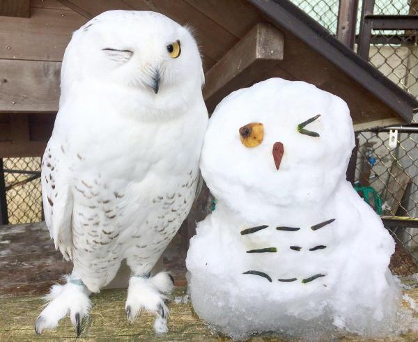 飼育員によるTwitterフォトコンテストで優勝したシロフクロウの写真