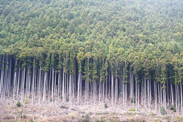 山の斜面に立ち並ぶ木々=昨年12月5日午後1時38分、和歌山県田辺市龍神村、加藤諒撮影
