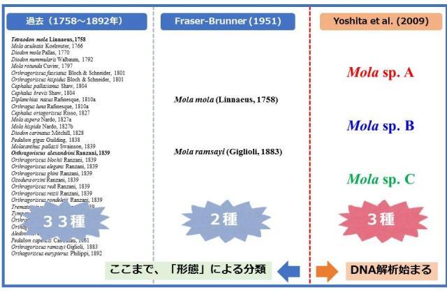 ざっくりとしたマンボウ属の分類研究の流れ(澤井さん提供の資料をもとに作成)