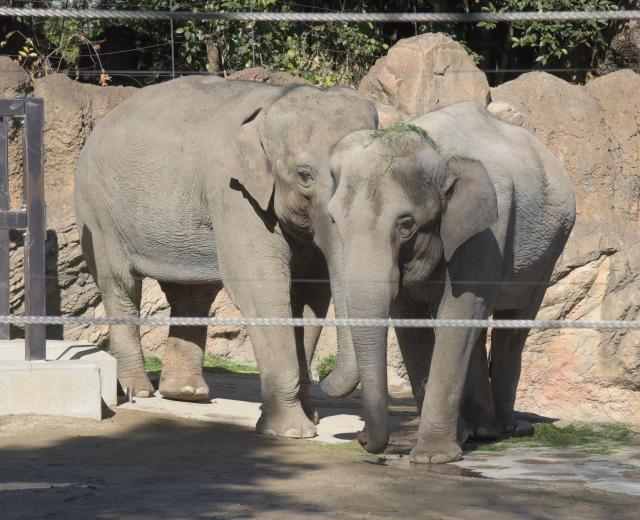 タイから贈られたメスの「ウタイ」(手前)。ゾウ舎の中では体が小さい