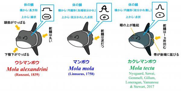 マンボウ属3種の成魚の見分け方。澤井さんによると、鱗の形も全然違うという。