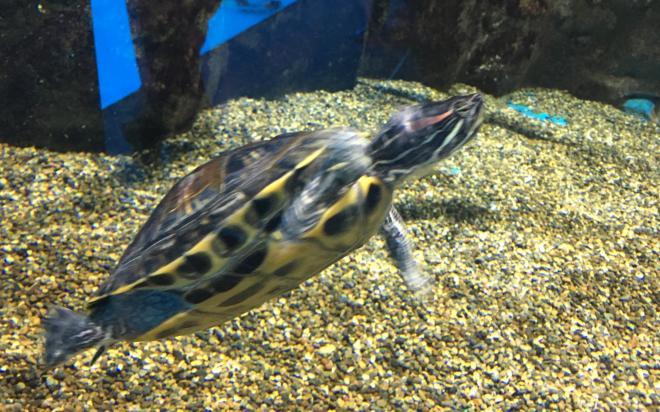 仙台うみの杜水族館で飼育されているアカミミガメ