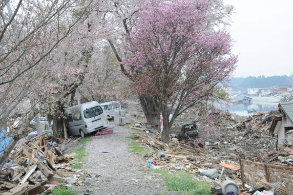 【5】2011年5月1日、大川沿いの桜並木=気仙沼市南郷付近