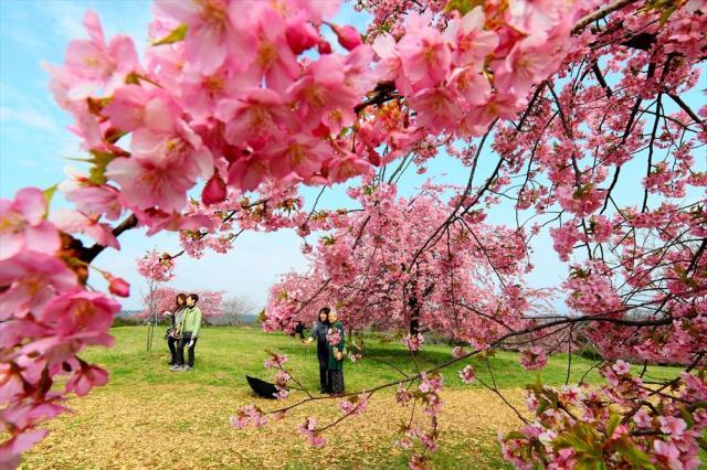 「サクラサイタ」後も要注意。満開となった河津桜=2018年3月15日、福岡県豊前市の静豊園、金子淳撮影