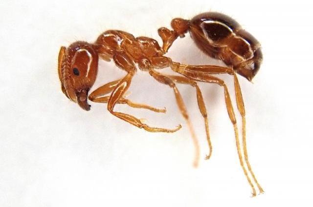ヒアリの標本(オオムラサキセンター提供)