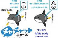 マンボウ属2種の成魚の見分け方