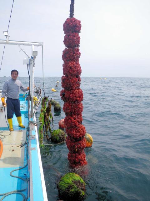 海からあげた養殖のホヤ(宮城県提供)
