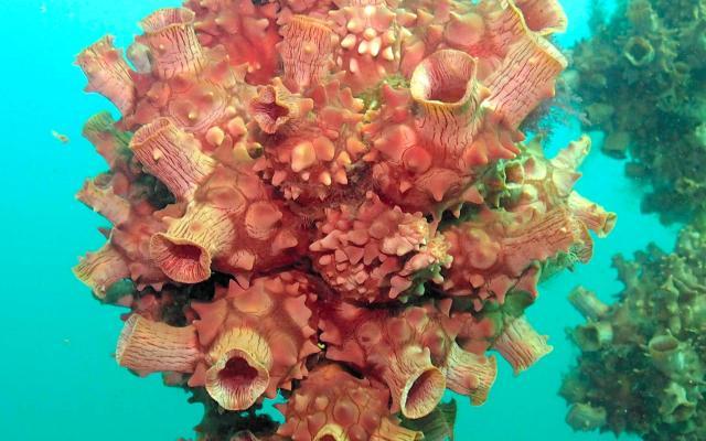 ホヤは海水を吸い込む口と出す口の二つを持ち、海の中では二つの口を大きく広げて生きています(宮城県提供)