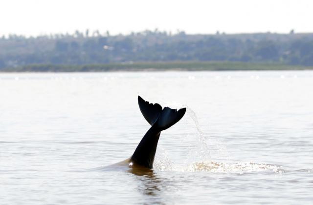 イラワジイルカがしっぽで水面をたたく。漁師はそれを合図に網を投げる。連係プレーです=2017年12月、ミャンマー中部