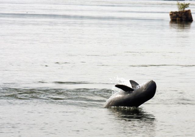 なかなか水上に姿を見せないイラワジイルカ。くすんだ色だが、顔はかわいらしい