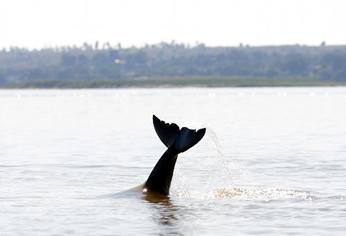 イラワジ川で、水面を尾びれでたたいて魚を追い込むイラワジイルカ=2017年12月1日、ミャンマー中部マンダレー郊外、杉本康弘撮影