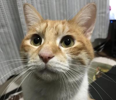 秀さんの飼い猫「レオ」。漫画は病気になった時のエピソードを元に描かれています