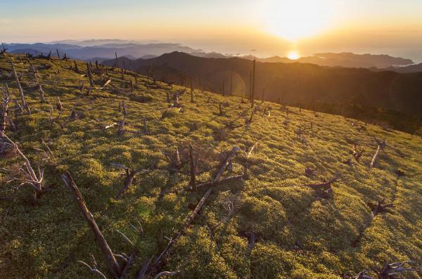 熊野灘から昇る朝日を浴びる立ち枯れた木々=奈良・三重県境の大台ケ原、細川卓撮影