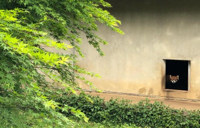市川市動植物園にはレッサーパンダもいます