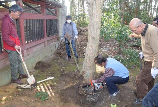 1度目の掘り出しは、そばの木が生育して根を張っているのが分かり、途中で断念=2018年3月4日