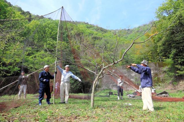 エノキの木に防護ネットをかける作業=広島県福山市
