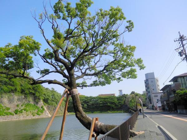 お堀に向かって立つエノキの木=名古屋市西区