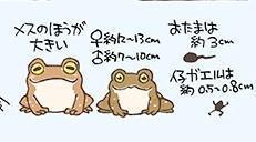 ヒキガエルの仲間