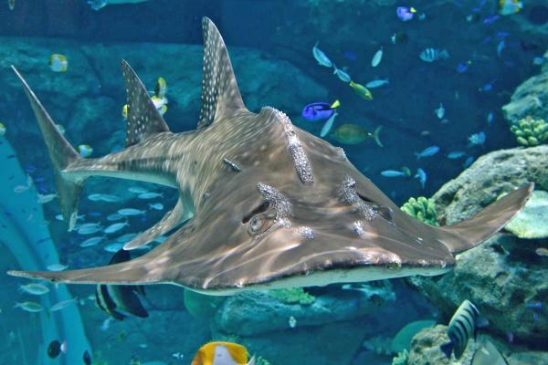 話題になった「シノノメサカタザメ」。サメではなくエイです