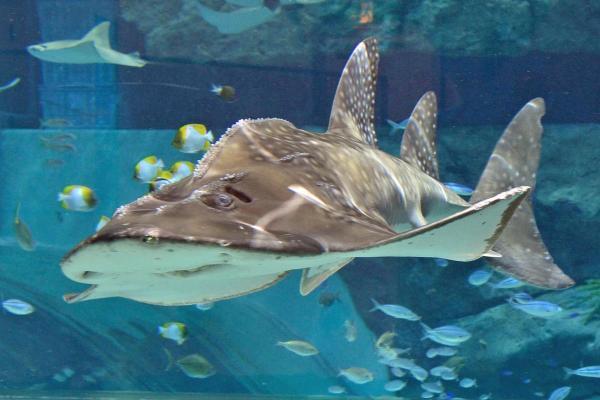 話題になった「シノノメサカタザメ」。今も元気に泳いでいます