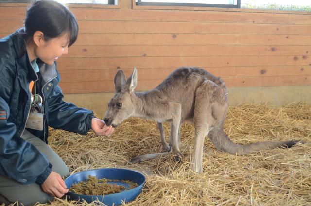 カンガルーにえさをあげる大牟田市動物園の飼育員。