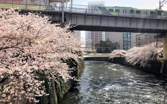 東急池上線五反田駅の真下に流れる目黒川。桜の名所としても知られる