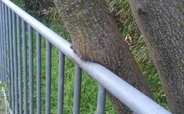 【枚方フォト】手すりに食い込んでる樹木