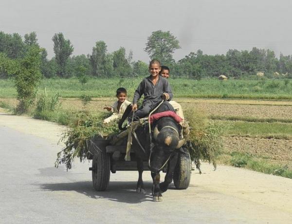 パキスタンの水牛