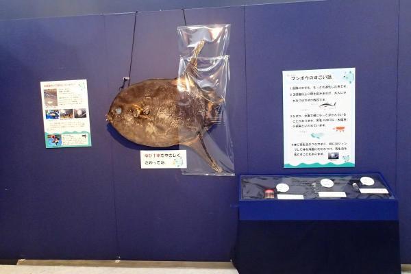 ヤリマンボウは九十九島水族館・海きららで乾燥標本として保管されているが、現在展示はされていない