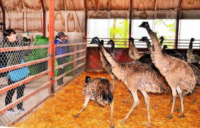 北海道網走市で飼育されている人の背丈以上あるエミューの成鳥=2017年6月3日