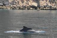 オマーンで姿を見せたイルカ=高野裕介撮影