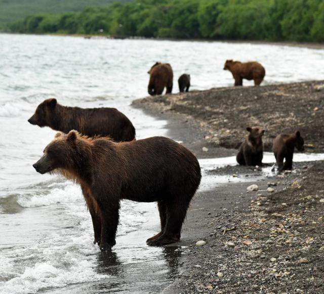 ロシア・カムチャッカ半島のクリル湖にはクマがいっぱい