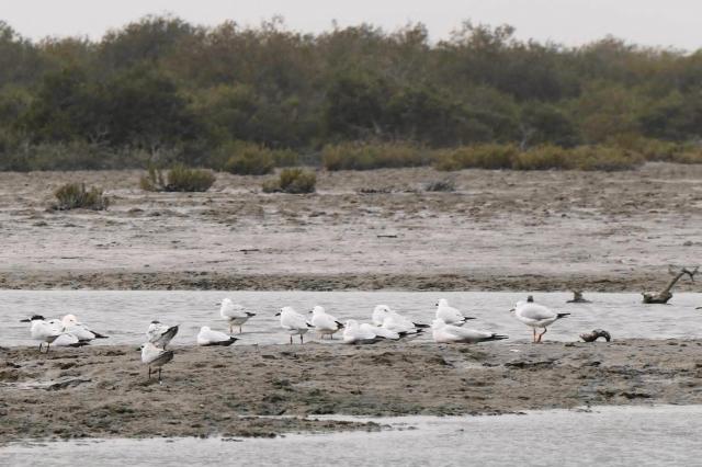 ゲシュム島中部のマングローブ