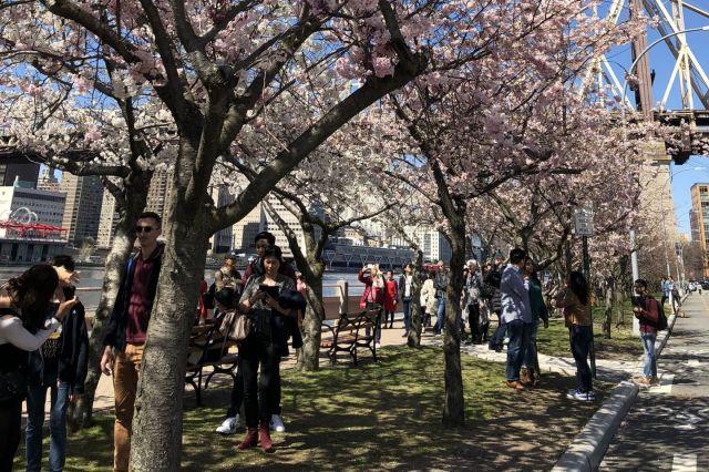 ルーズベルト・アイランドの桜並木