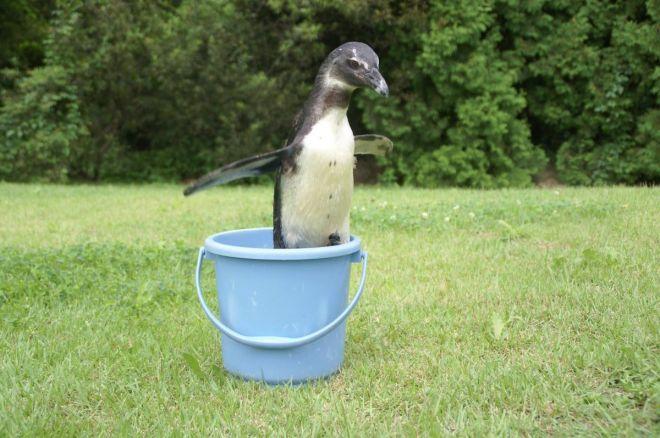 東北サファリパークの人気者、ペンギンの出川さん