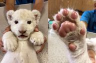 話題になったホワイトライオンのリズムの写真