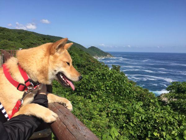 河部眞弓さんが飼っている山陰柴犬の「サニー」