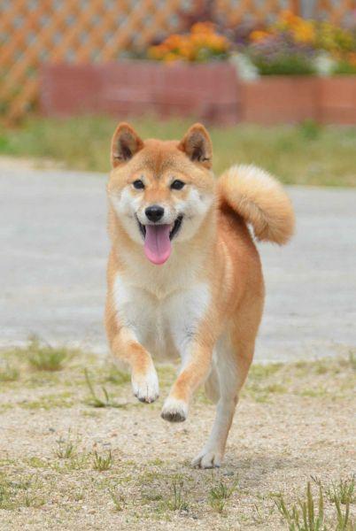 日本犬初の警察犬となった柴犬の「二葉」