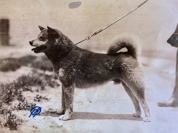 柴犬のルーツとなった石州犬の「石(いし)」