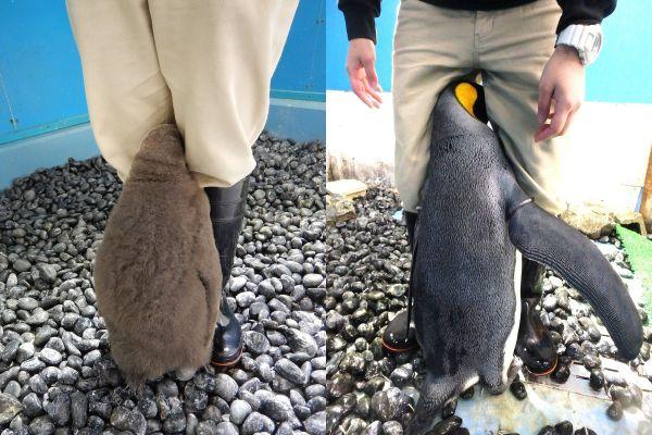 左が2年前、右が最近撮影した写真。どちらも同じペンギンで謎ポースは健在です