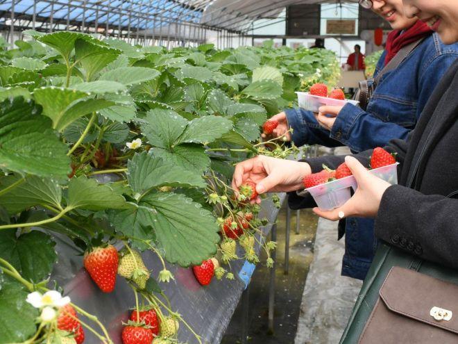 イチゴ狩りでおいしそうなイチゴを手に取る人たち=和歌山県九度山町