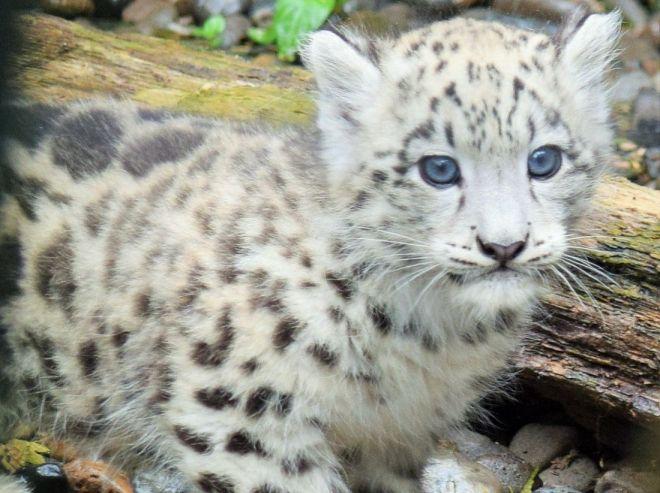 モフモフしたユキヒョウの赤ちゃん=北海道旭川市の旭山動物園